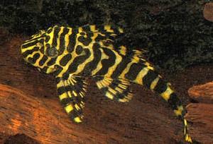 Imperial Tiger Plecostomus L134 (Peckoltia sp.)