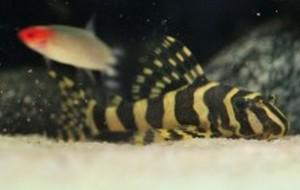 Imperial Tiger Plecostomus L134 (Peckoltia compta)