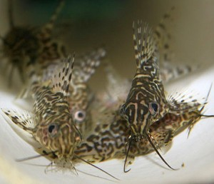 Juvenile Featherfin Squeakers (Synodontis eupterus)