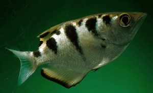 Juvenile Largescale Archerfish (Toxotes chatareus)