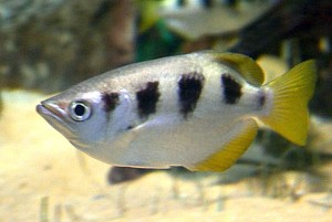 Largescale Archerfish (Toxotes chatareus)