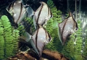 School of Mono Sebae (Monodactylus sebae)