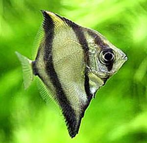 Mono Sebae (Monodactylus sebae)