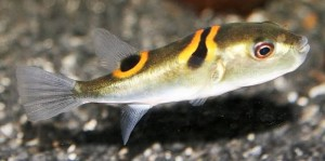 Orange Saddle Fugu Puffer (Takifugu ocellatus)