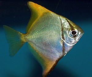 Mono Argentus (Monodactylus argenteus)