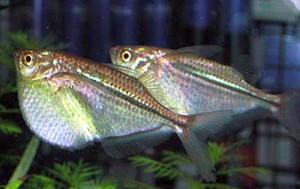 Common Hatchetfish (Gasteropelecus sternicla)