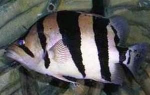 Silver Tiger Fish (Datnioides polota)