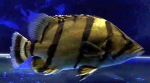 Mekong Tiger Perch (Datnioides undecimradiatus)