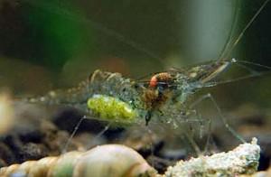 Grass Shrimp (Palaemonetes paludosus)