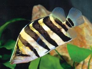 Juvenile Silver Tiger Fish (Datnioides polota)