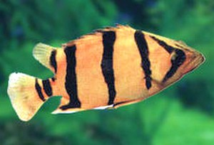 Mekong Tiger Perch (Datnioides undecimradiatus)