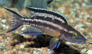 Striped Lamprologus (Neolamprologus buescheri) Kachese