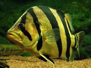 Siamese Tiger Fish (Datnioides pulcher)