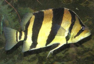 False Siamese Tiger Fish (Datnioides microlepis)