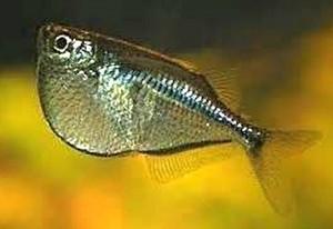 Silver Hatchetfish (Gasteropelecus levis)