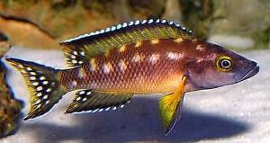 Striped Lamprologus (Neolamprologus buescheri)