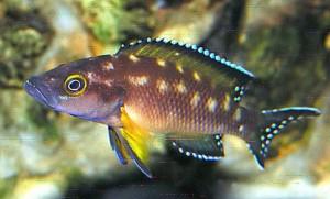 Striped Lamprologus (Neolamprologus buescheri) Zaire Gold
