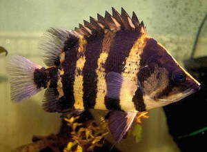 New Guinea Tigerfish (Datnioides Campbelli)