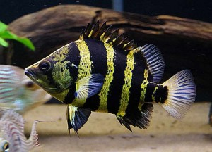 New Guinea Tigerfish (Datnioides Campbelli)