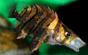 Juvenile False Siamese Tiger Fish (Datnioides microlepis) extended
