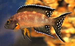 Striped Lamprologus (Neolamprologus buescheri) Kamakonde