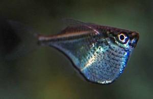 Blackwing Hatchetfish (Carnegiella marthae)