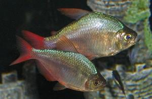 Colombian Tetra (Hyphessobrycon columbianus)