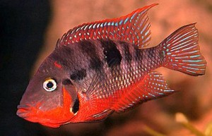 Firemouth Cichlid (Thorichthys meeki)