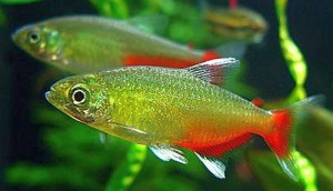Green Fire Tetra (Aphyocharax rathbuni)