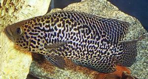 Managuense Cichlid (Parachromis managuense)
