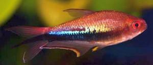 Rainbow Tetra (Nematobrycon lacortei)