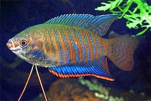 Banded Gourami (Colisa fasciata)