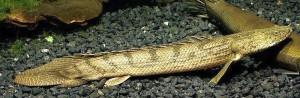 Congo Bichir (Polypterus endlicheri congicus)