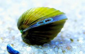 Freshwater Clam (Corbicual sp.)