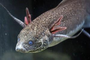 Gilled African lungfish (Protopterus amphibius)