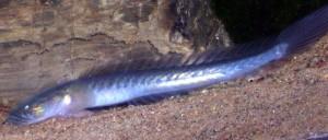 Dragon Goby (Gobioides broussonnetii)
