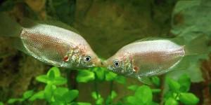 Kissing Gourami(Helostoma temmincki)