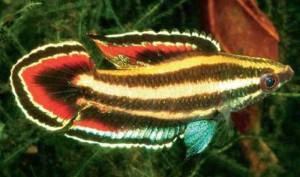 Licorice Gourami (Parosphromenus deissneri)