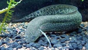Marbled Lungfish (Protopterus aethiopicus)