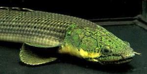 Weeksii Bichir (Polypterus weeksii)