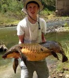 Queensland Lungfish (Neoceratodus forsteri)