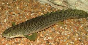 Retropinnis Bichir (Polypterus retropinnis)