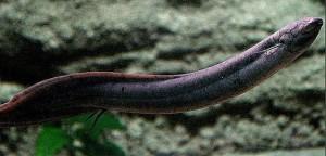 South American lungfish Lepidosiren paradoxa