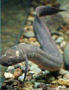 Spotted African Lungfish (Protopterus dolloi)