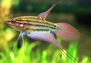 Talking Gourami (Trichopsis vittatus)