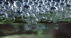 Gourami Fry In Bubble Nest