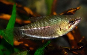 Giant Chocolate Gourami (Sphaerichthys acrostoma)