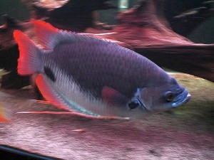 Giant Red Tail Gourami (Osphronemus laticlavius)
