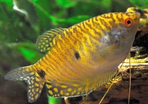 Gold Gourami (Trichogaster trichopterus)