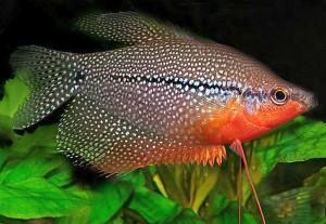 Pearl Gourami (Trichogaster leeri)